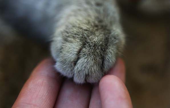 Picture cat, macro, background, paw, hand