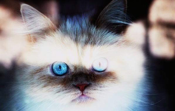 Picture kitten, blue, blue eyes, Cat, animal, bright, pet, fur, ears, close up, whiskers, feline, snout