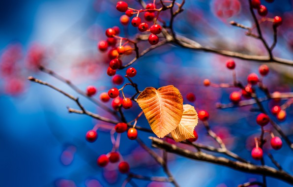 Picture autumn, leaves, branches, berries, leaf, blur, fruit, red, blue background, bokeh
