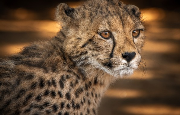 Picture look, face, background, portrait, baby, Cheetah, cub, wild cat