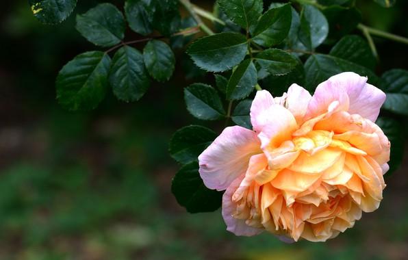 Picture flower, leaves, the dark background, rose, orange, branch, garden, yellow, lush