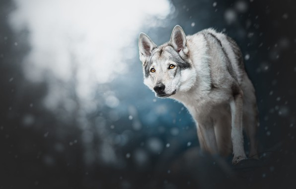 Picture winter, forest, look, face, light, snow, nature, pose, the dark background, grey, wolf, dog, paws, ...