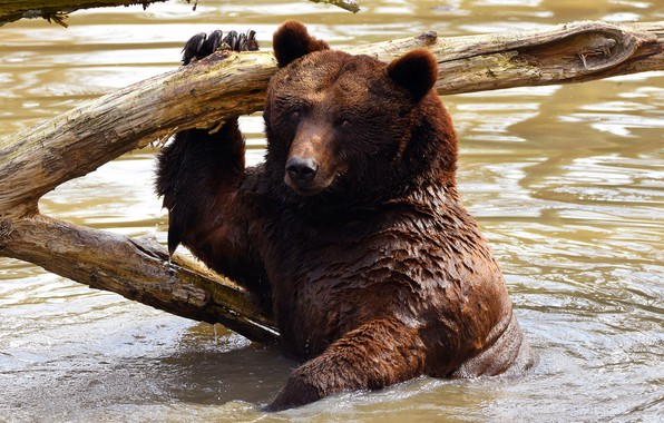 Picture look, face, water, wet, pose, bear, bathing, bear, snag, pond, wildlife, brown, Mikhaylo Potapych