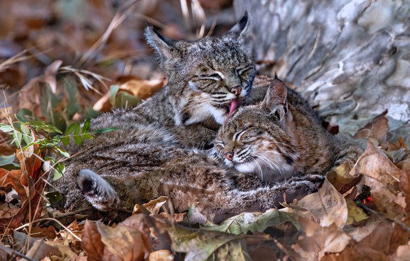 Picture leaves, cub, wild cats, lynx, a mother's love