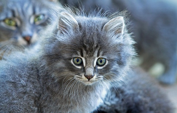 Picture look, grey, fluffy, muzzle, kitty