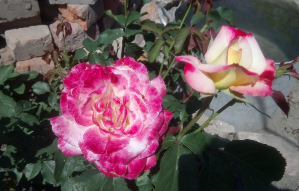 Picture focus, Roses, and the smell, pocus