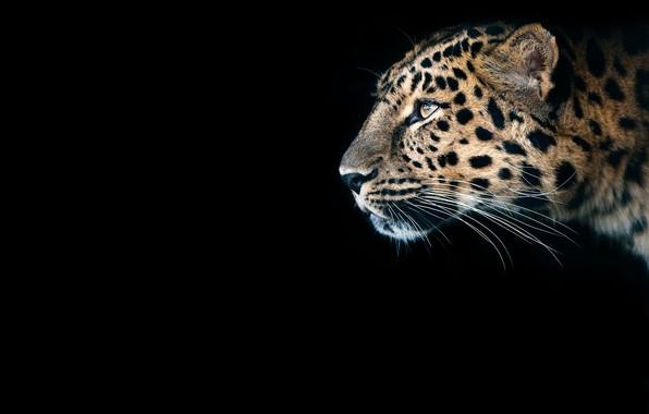Picture look, predator, Cheetah, black background, wild cat, big cat