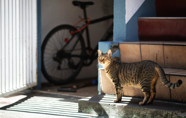 Picture cat, cat, light, bike, house, grey, yard, ladder, stage, shadows, walk, striped