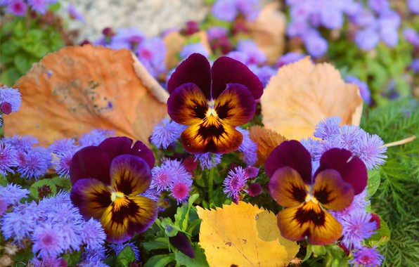 Picture Flowers, Pansy, Pansies