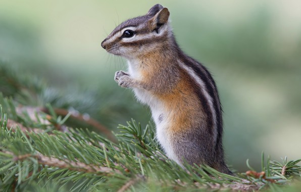 Picture look, pose, green, background, legs, Chipmunk, needles, stand, wildlife, rodent, blurred, pine branches
