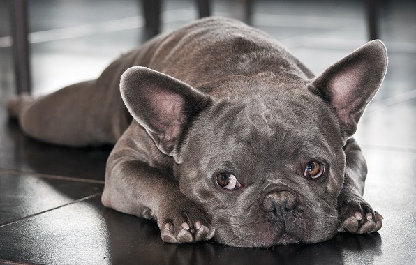 Picture French bulldog, Breed, the beauty of it.