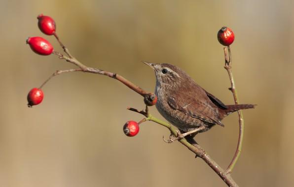 Picture berries, bird, branch, Wren