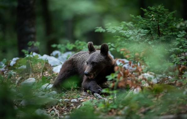 Picture forest, look, leaves, branches, nature, pose, stones, bear, bear, mouth, lies, young, brown