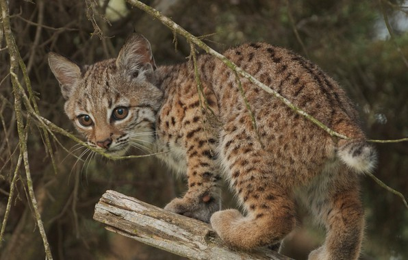 Picture branches, cub, kitty, lynx, wild cat, a small lynx