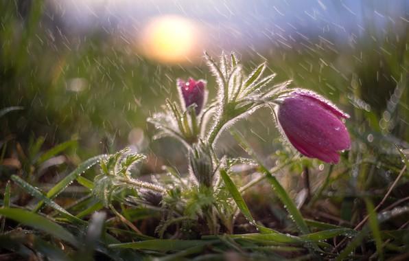 Picture grass, water, drops, macro, nature, rain, spring, primrose, sleep-grass, anemone