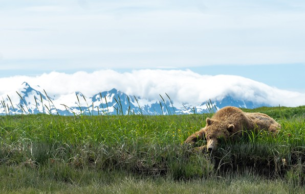 Picture grass, mountains, pose, stay, bear, lies