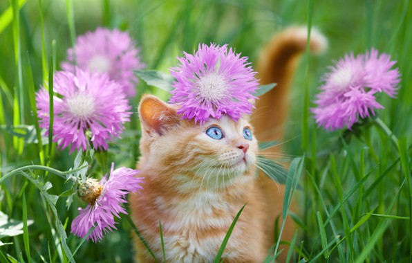 Picture blue eyes, in the grass, ginger kitten
