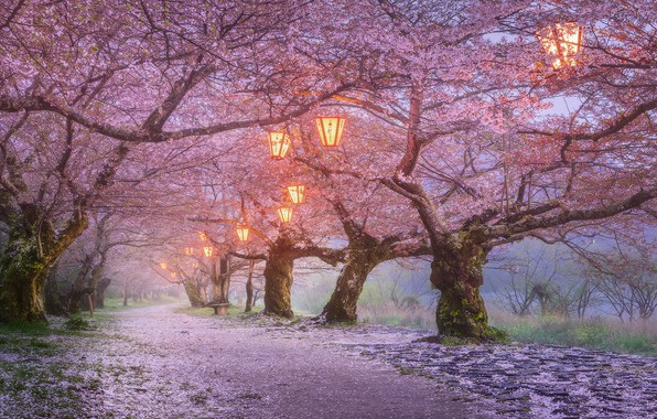 Picture trees, flowers, nature, lights, Park, the evening, Japan, Sakura, lanterns, flowering, the alley