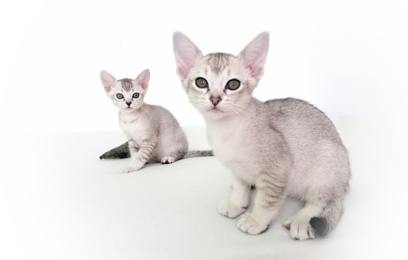 Picture pair, kittens, white background, Asian tabby