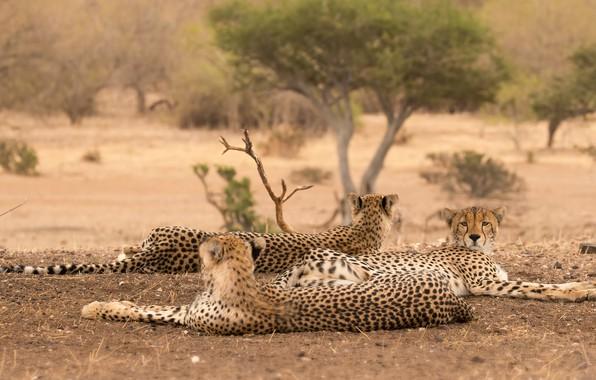 Picture nature, pose, tree, stay, Cheetah, three, wild cats, trio, lie, cheetahs