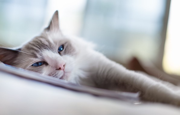 Picture blue, eyes, Cat