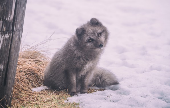 Picture winter, look, snow, pose, grey, Fox