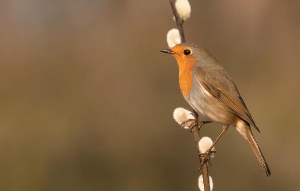 Picture background, bird, branch, Verba, Robin
