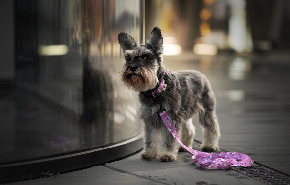 Picture look, glass, face, the city, reflection, background, street, haircut, dog, leash, walk, grey, the sidewalk, …