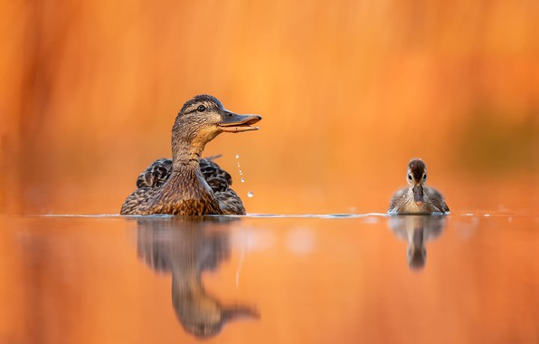 Picture water, birds, reflection, background, duck, duck, chick