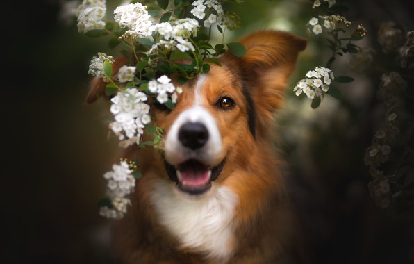 Picture look, face, branches, dog, spring, flowering, flowers, The border collie