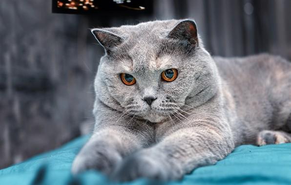 Picture cat, grey, paws, muzzle, British Shorthair