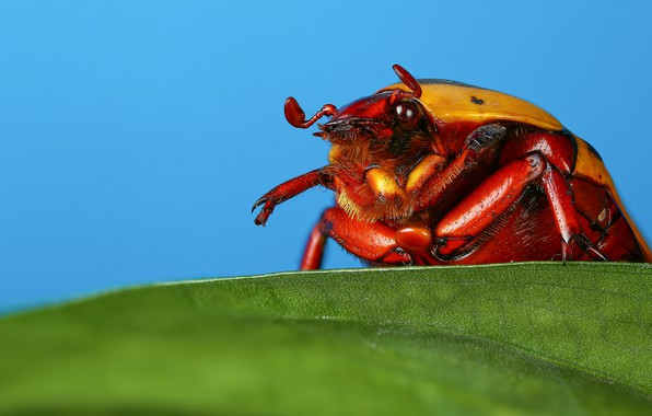 Picture macro, leaf, beetle, insect, blue background, may