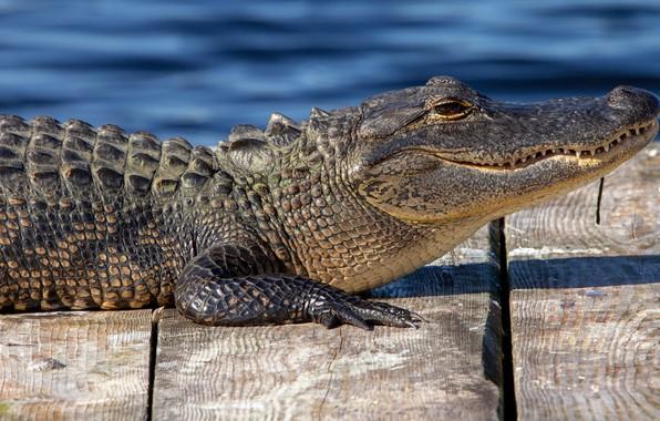 Picture look, face, pose, shore, Board, crocodile, lies, profile, bridges, pond, alligator, reptile, flooring