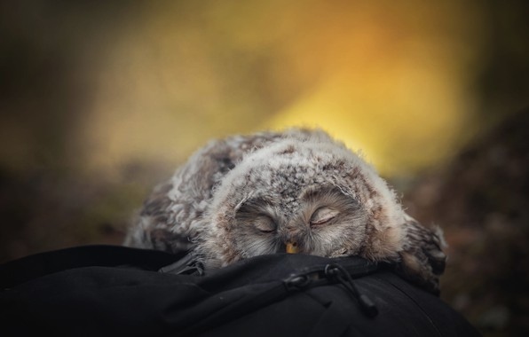 Picture yellow, nature, pose, background, stay, owl, bird, sleep, portrait, blur, fluff, sleeping, lies, bag, backpack, …