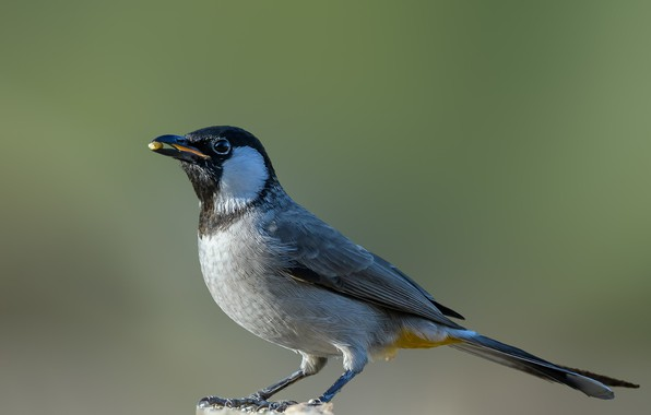 Picture bird, column, white eared Bulbul
