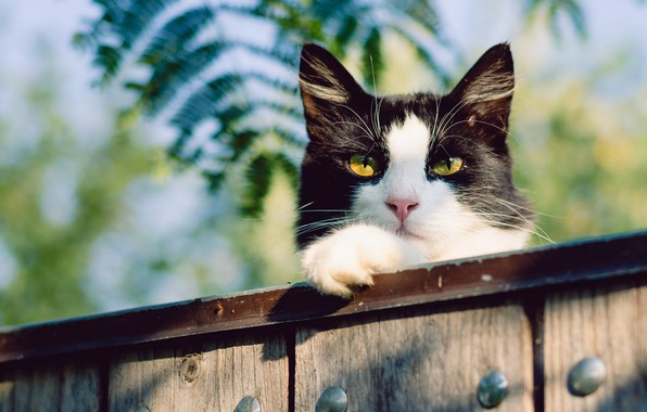 Picture cat, cat, face, leaves, nature, background, black and white, Board, the fence, yellow eyes
