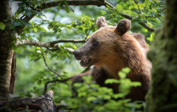 Picture forest, face, bear, profile, Alexander Perov