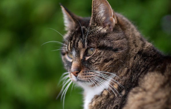 Picture cat, look, portrait, muzzle, profile, Kote, serious