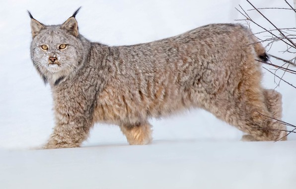 Picture look, snow, lynx, wild cat