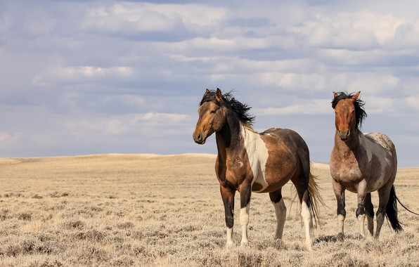 Picture field, the sky, the wind, horses, horse, space, pair, two, two horses, two knights
