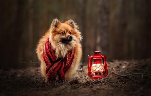 Picture autumn, dog, scarf, lantern, bokeh, Spitz, Ekaterina Kikot
