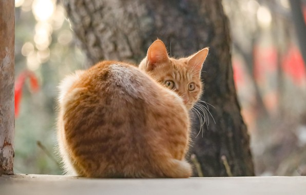 Picture from the back, looked, red cat, blur bokeh