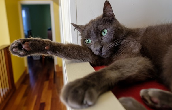 Picture cat, cat, pose, grey, room, paws, shelf, lies, green eyes, smoky