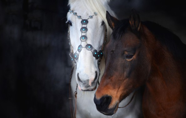 Picture white, look, the dark background, horse, horse, two, horses, portrait, horse, pair, decoration, two, muzzle, …
