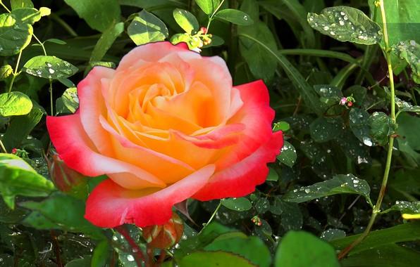 Picture summer, grass, Rosa, rain, Rose