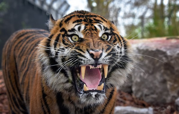 Picture tiger, mouth, beast