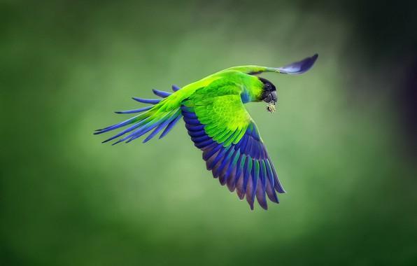 Picture background, bird, flight, Blackhead parrot, Nandayus nenday, Nanday parakeet, blackheads conure