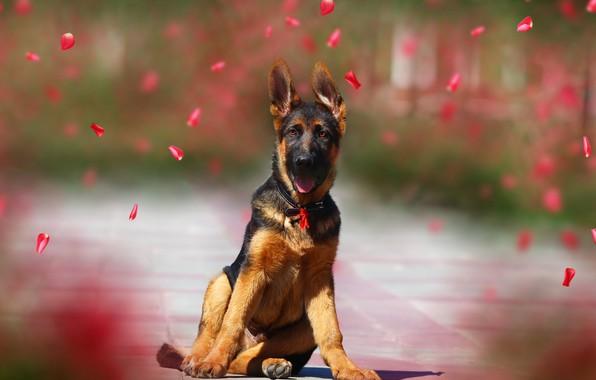 Picture background, petals, puppy, shepherd