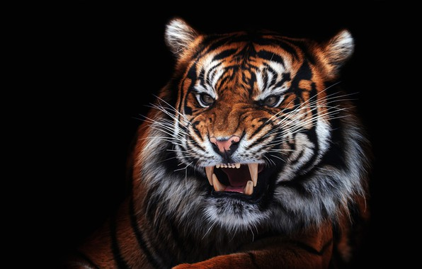 Picture eyes, look, face, close-up, tiger, portrait, mouth, fangs, evil, black background, unhappy, aggression, wild cat, …
