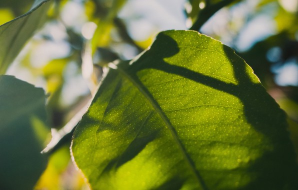 Picture leaves, macro, sheet, sunlight